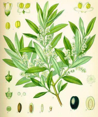 Оливковое масло. История, виды, польза, хранение и др. 11