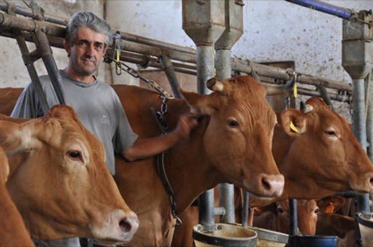 Коровы красной реджанской породы