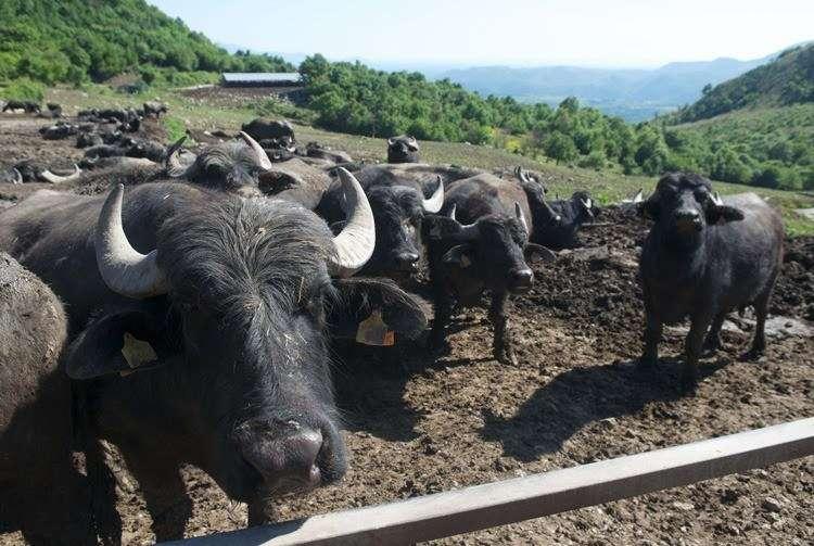 Характеристики буйволиного молока. Черные буйволы