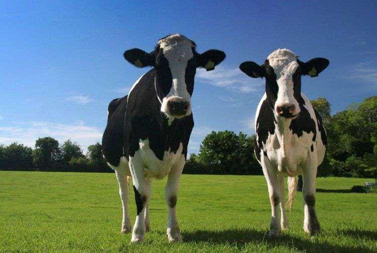 Голштино-фризская порода коров отличается большими удоями