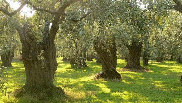 Оливковое масло. История, виды, польза, хранение и др. 10