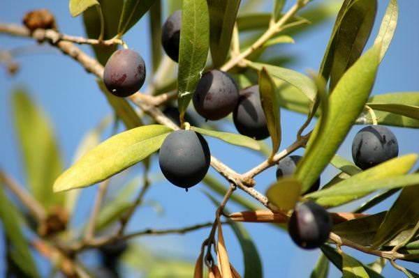 Оливковое масло. История, виды, польза, хранение и др. 12