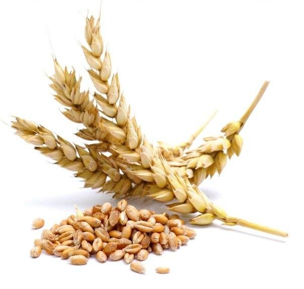Твердые сорта пшеницы durum