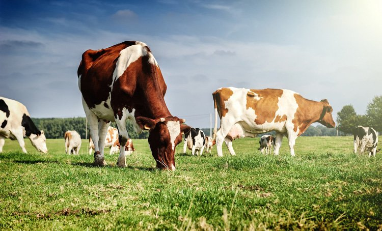 Как производят настоящий пармезан. Выгул коров и их питание