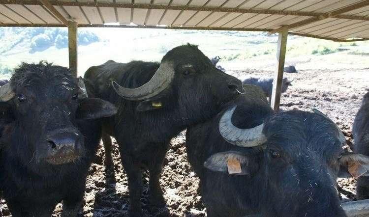 Черные буйволы региона Кампана