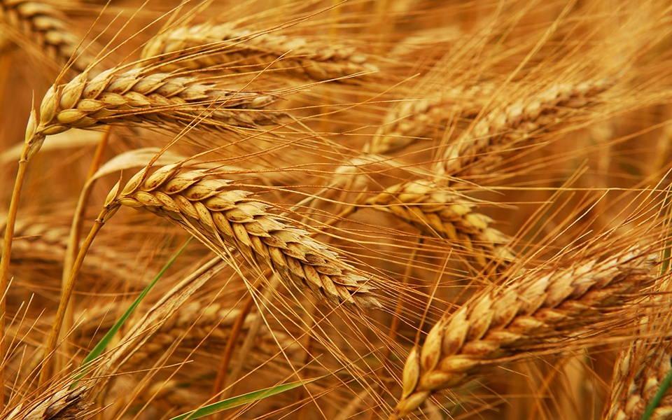 Сорта пшеницы отличаются друг от друга по внешнему виду.