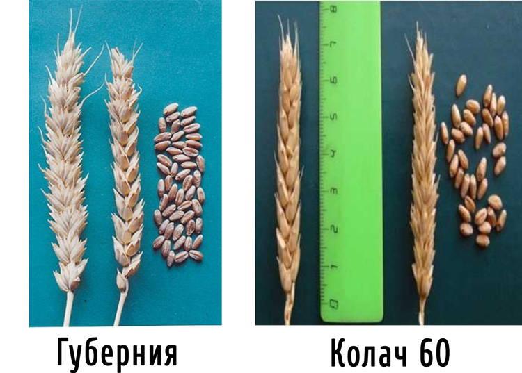 Сорта озимой мягкой пшеницы