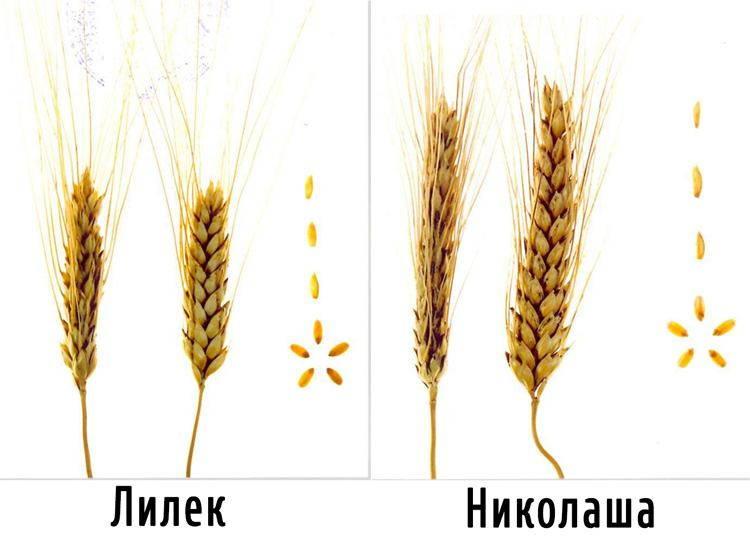Сорта твердой яровой пшеницы Лилек и Николаша